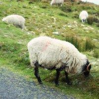 Овцы :: Екатерина Жукова