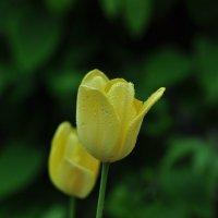 тюльпаны :: Виталий Прокопчук