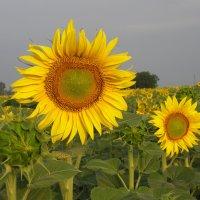 солнечные цветы :: Александр Корнелюк