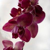 Орхидея фаленопсис пелорик :: Ирина Приходько