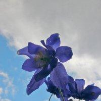 Горные цветы :: Алексей Хвастунов