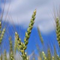 На пшеничном поле :: Андрей Куприянов