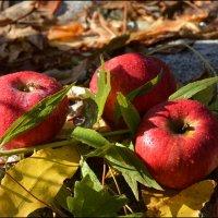 Яблоки спелые, красные, сладкие..! :: Anna Gornostayeva