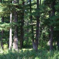 Кедровый лес :: Вера Андреева