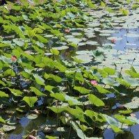 Озеро с лотосами :: Алексей Часовской