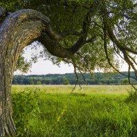 Волшебное дерево :: Сергей Корнев