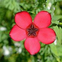 Аленький цветочек :: Елена Секретова
