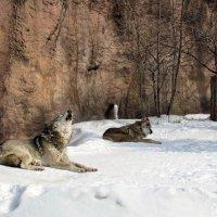 ..о волках :: галина северинова