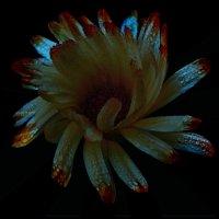 Ночной цветок по фото Владимира Максимова :: Владимир Хатмулин