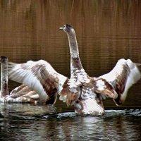 дикие лебеди :: юрий иванов