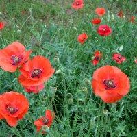 Пора цветения маков... :: Тамара (st.tamara)