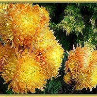 очарование хризантем :: svetlana.voskresenskaia