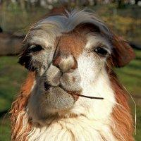 Крутая лама :: Alexander Andronik