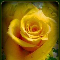 Желтые розы :: Сергей Карачин
