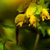 Лютики цветочки... :: Сибирь Эвенкия Евгений Щербаков