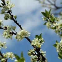 Яблони в цвету - весны творение. :: Маргарита ( Марта ) Дрожжина