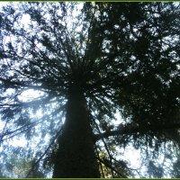 Подмосковное дерево Баобаб. :: Ольга Кривых