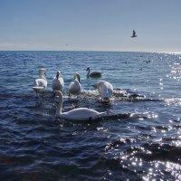 Лебеди. :: Ирина Нафаня
