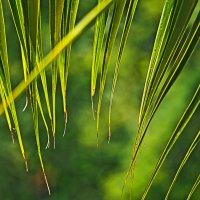 Ритм пальмового листа 1 :: Татьяна Губина