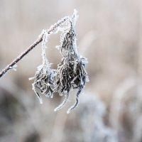 Первые осенние заморозки :: Анастасия Климова