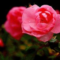 Роза :: Alexander