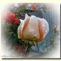 Осенняя роза :: Юрий Владимирович