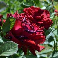 Розы :: Дмитрий Конев
