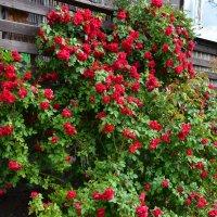 Кустик розы. :: zoja