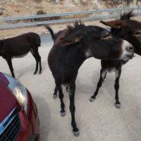 Дикие ослики-попрошайки полуострова Карпас :: Anna Lipatova