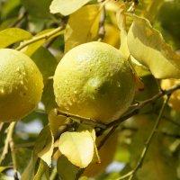 лимоны :: evgeni vaizer