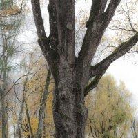 Спасское(этот дуб сажал И.С.Тургенев) :: Толя Толубеев