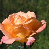 И розы нежный свет... :: Елена Даньшина