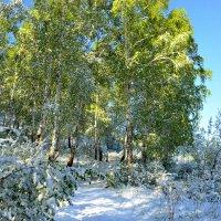Заснеженный лес весенним майским  утром :: galina tihonova