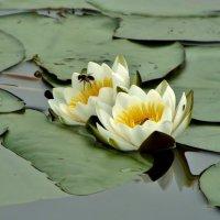 водяные лилии :: Валентина. .