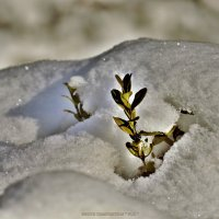 "среди снега :: PHOTO COMPOSITION "" FOC """