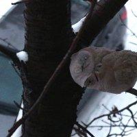 Горлицы под моим окном. :: Сергей Касимов