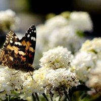 butterfly :: [ AzZzA ]