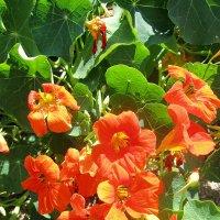 Цветы настурции — земли протуберанцы... :: Ирина