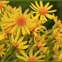 Есть в желтых цветах откровение жаркого лета :: Татьяна Ломтева