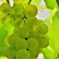 Под виноградной лозою... :: Milocs Морозова Людмила