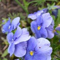 Голубые анютки. :: zoja