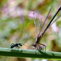 Стрекоза  и  муравей :: Геннадий Супрун