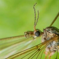 Малярийный комар :: Дмитрий Рутковский