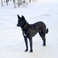 Чёрная собака . :: Мила Бовкун
