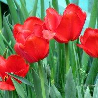 Красные тюльпаны. :: Валентина Домашкина