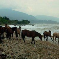 Дикие лошади в Абхазии :: Римма Волченко