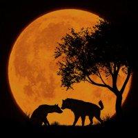 Гиены, ночная прелюдия (из серии ночные силуэты)... :: олег