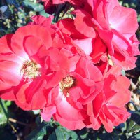 Красные розы. :: Валерьян