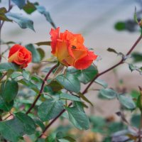 Запоздалые розы :: Любовь Потеряхина