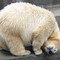 Белый медведь :: Ольга Головина